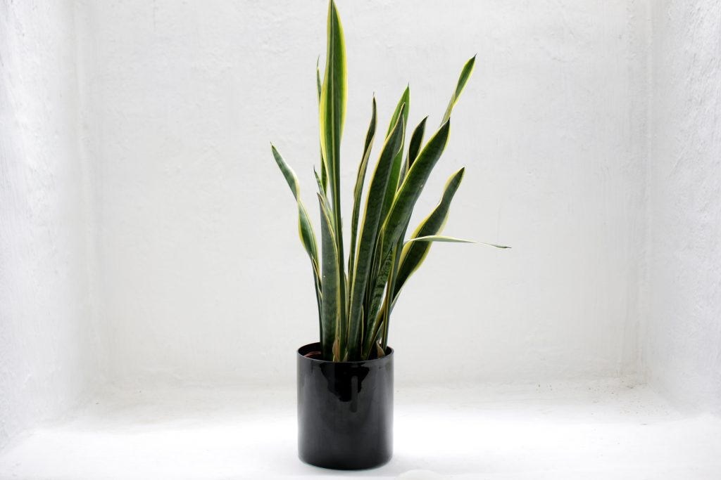 SERVICED OFFICE KL: PLANTS FOR BIG SPACE- SNAKE PLANTS